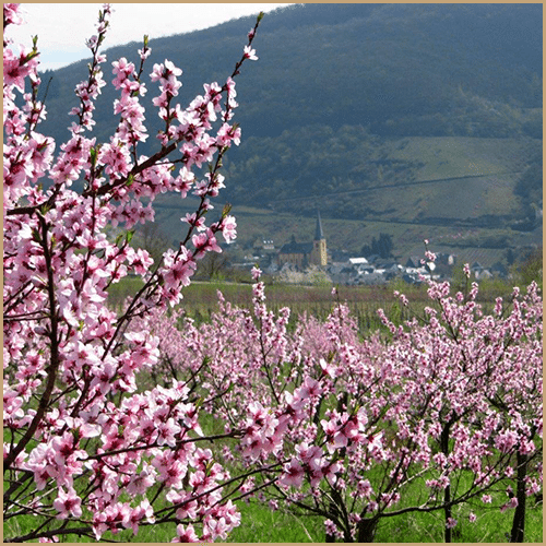 Vineyard peach trees in blossom